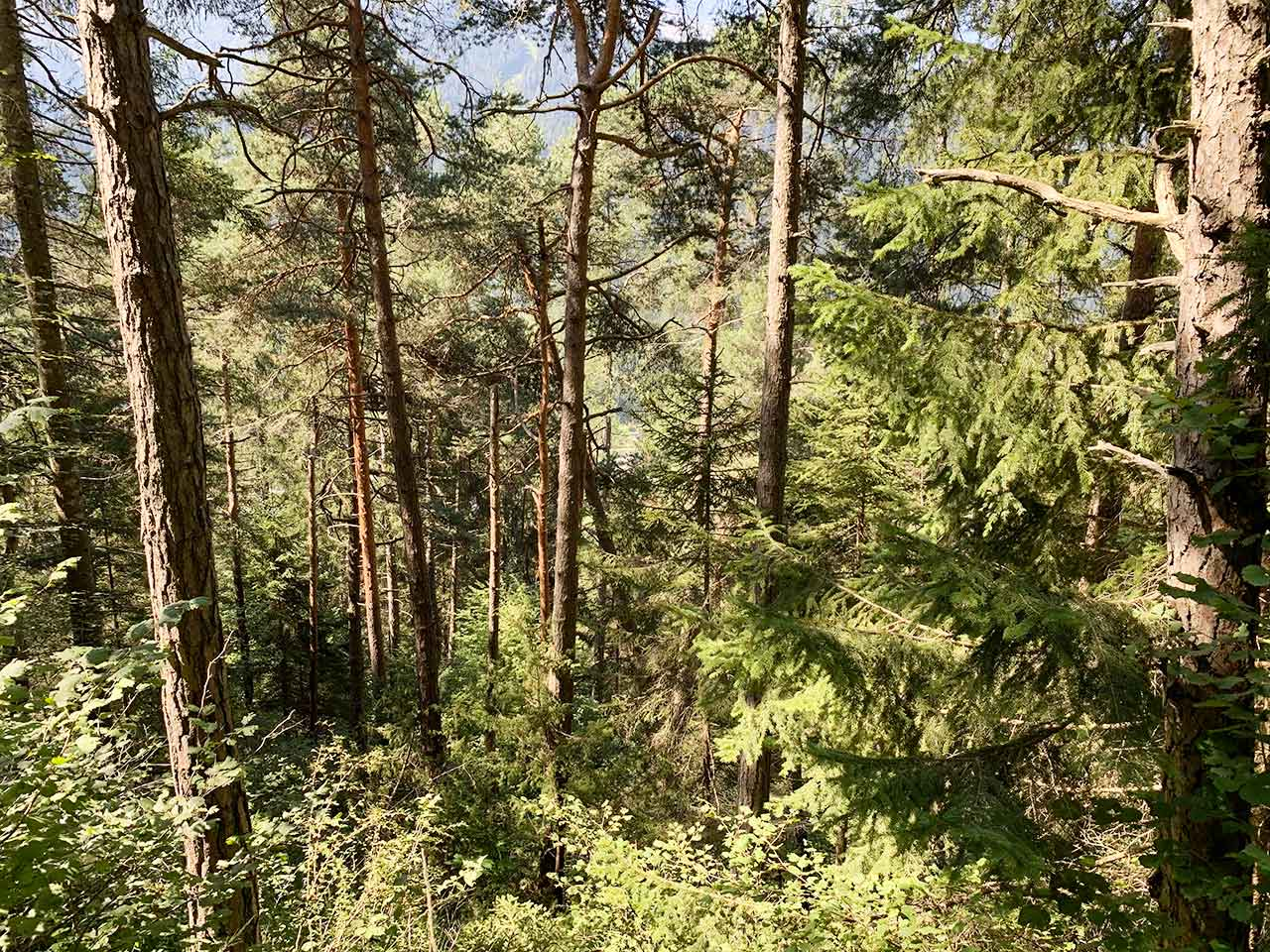 auronzo-bosco-bersaglio-abeti