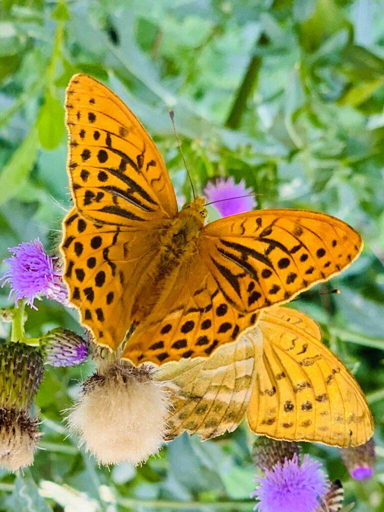 farfalla arancione di Montagna