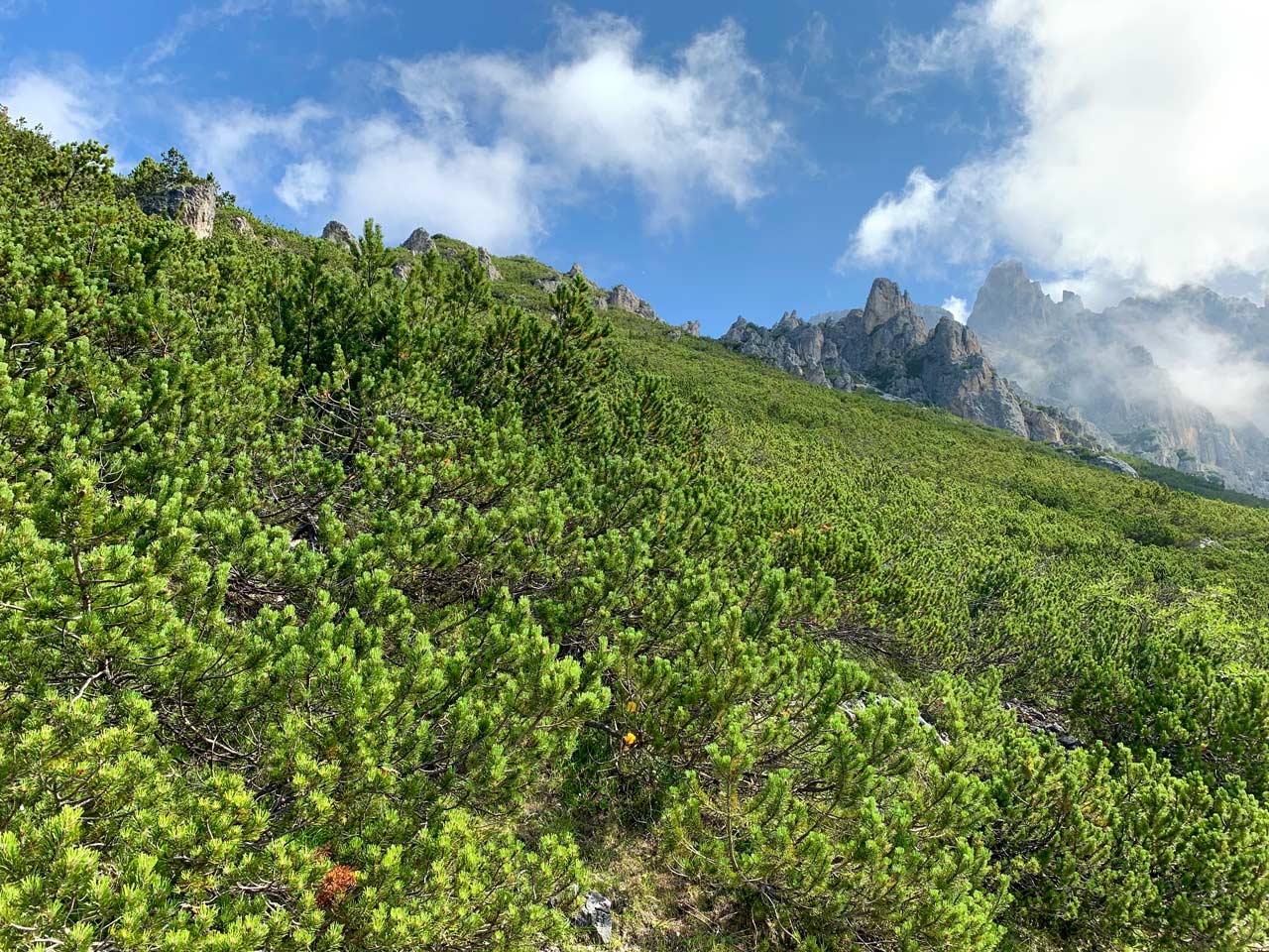 8-pino-mugo-sentiero-misurina-col-de-varda-rifugio-citta-di-carpi