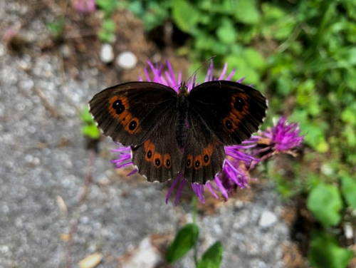 Auronzo, farfalle in Val Marzon