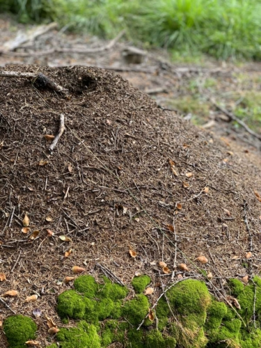 Torbiera di Danta - formicaio