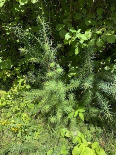 Percorso Botanico -Tita Poa Erba cipressina